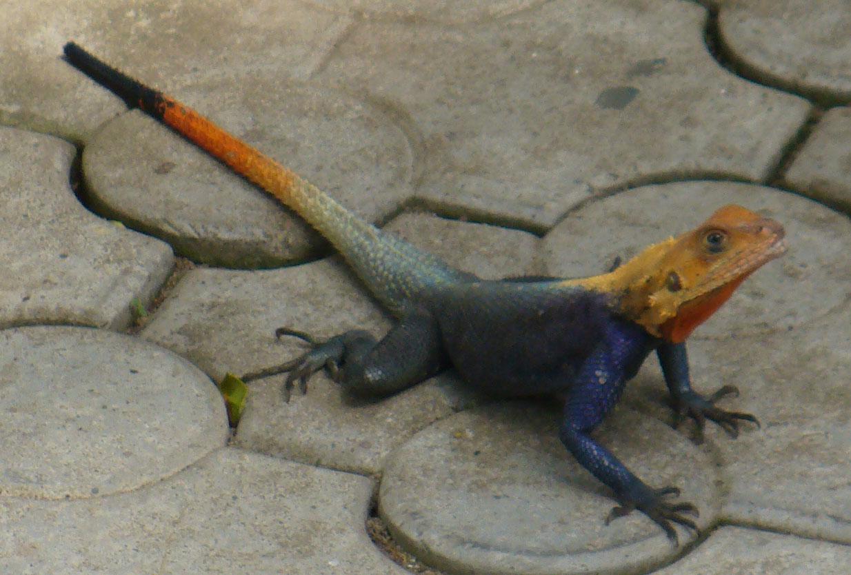 Rob's Douala house lizard
