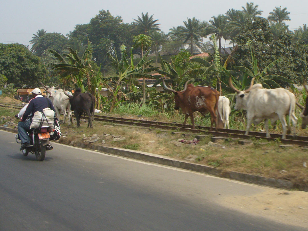 Cameroon cattle drive