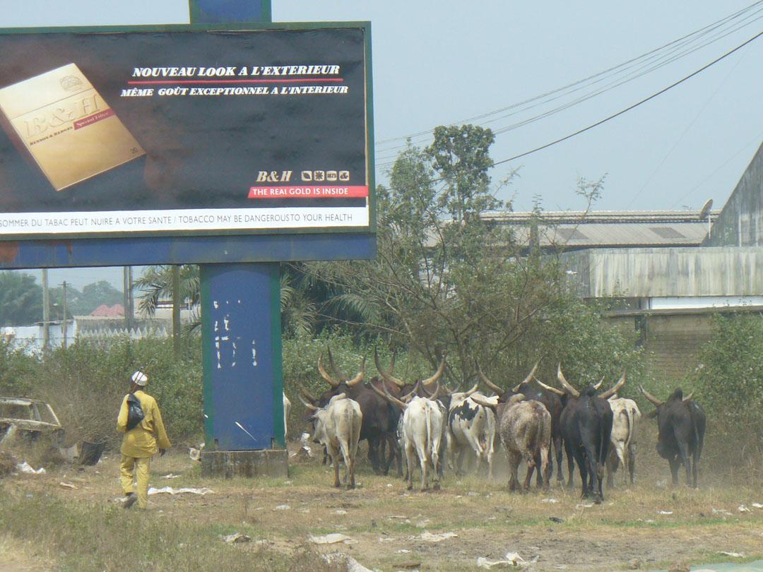 Roadside cattle drive