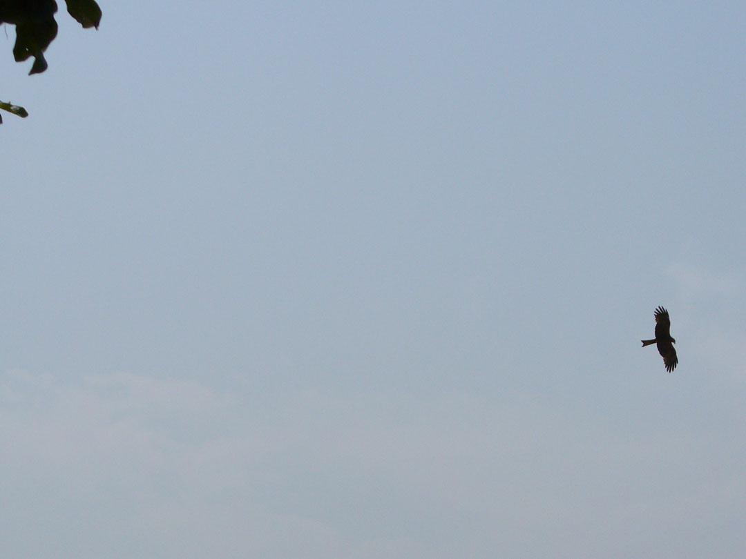 African hawk hunting on beach