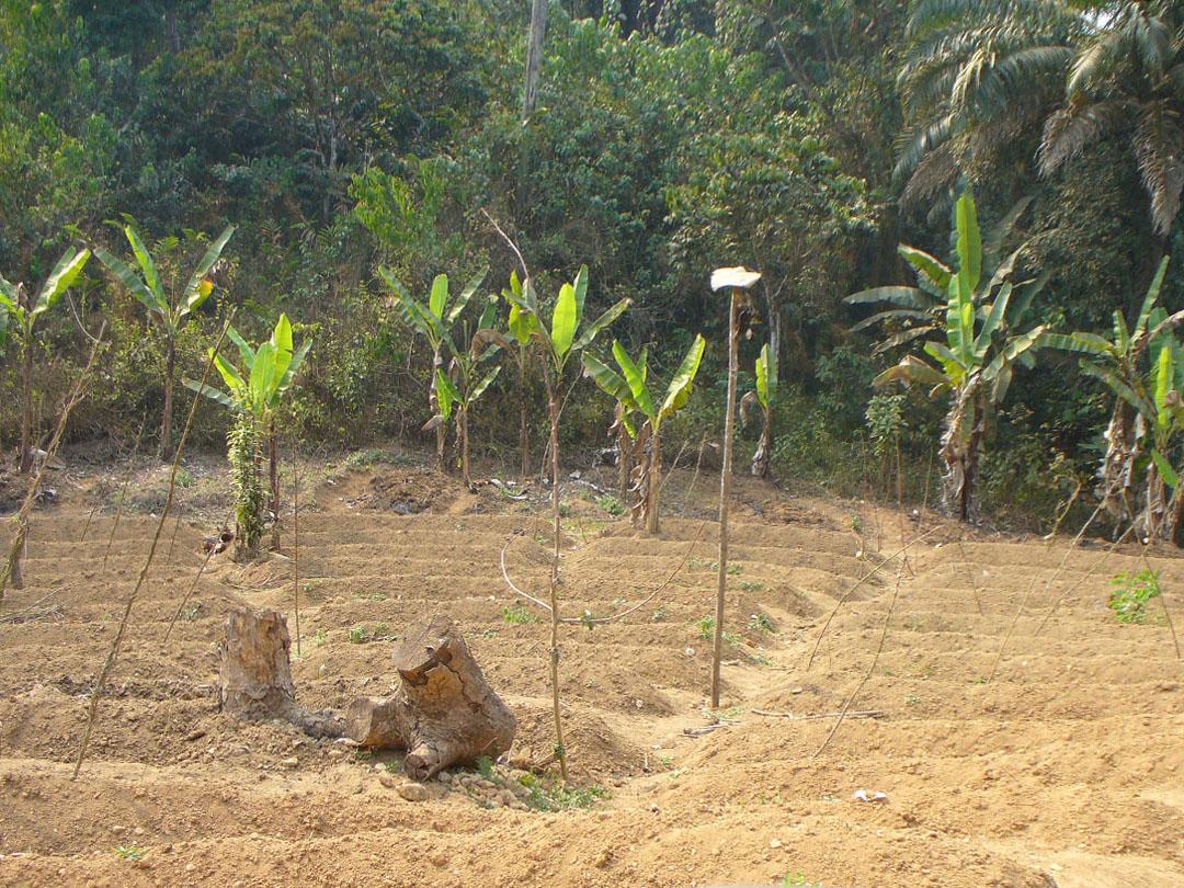 Tiny banana farm in jungle