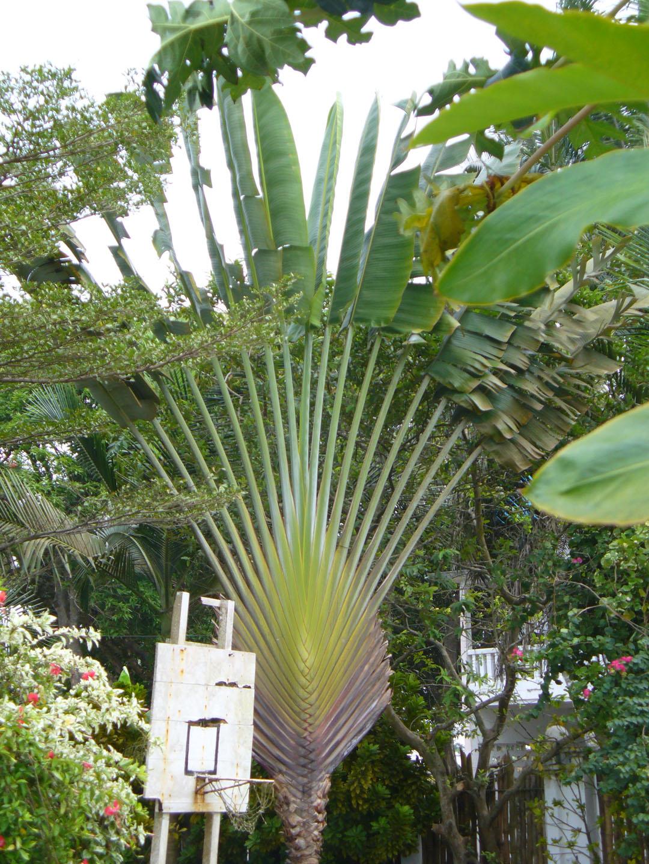 Fan shaped palm
