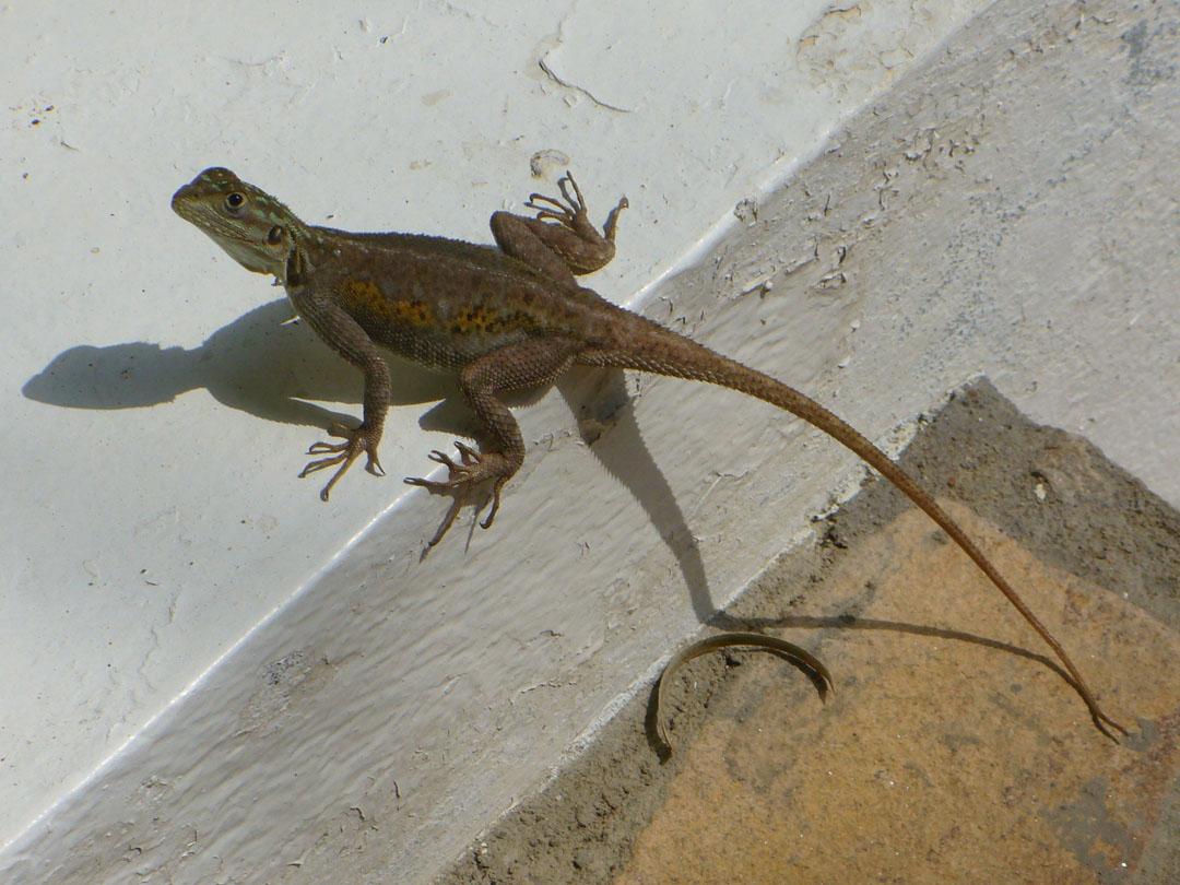 Le Baobab restaurant in Karibe Cameroon lizard